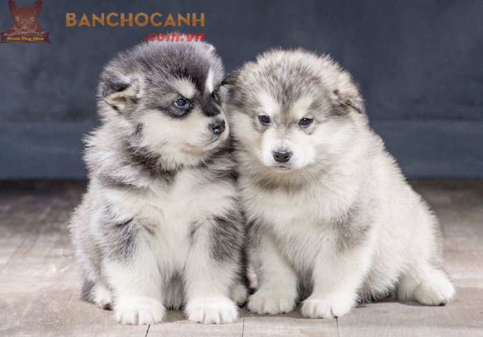 Giới thiệu chó Alaska-Người bạn to xác nhưng hiền lành