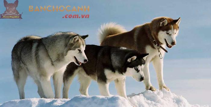 Giới thiệu chó Alaska-Người bạn to xác nhưng hiền lành.