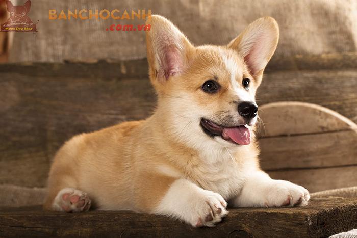 Trại chó Corgi tại Hà Nội