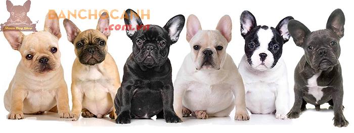 Giới thiệu giống chó Bull Pháp( Bulldog Pháp)