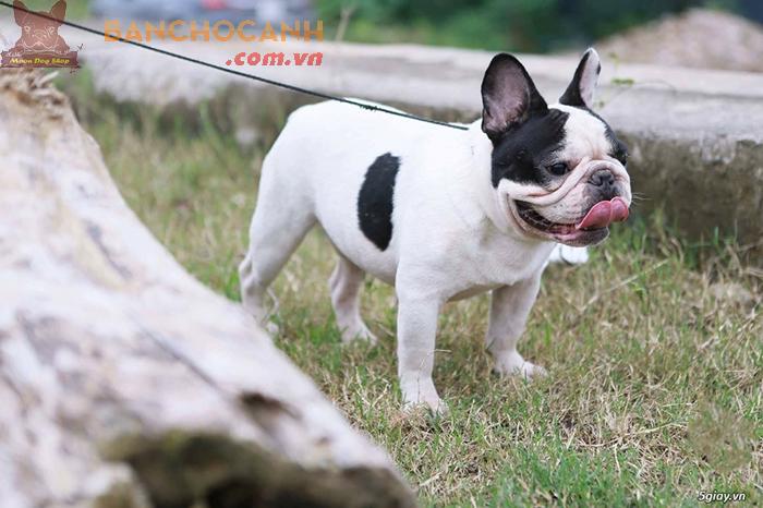 Chó Bull Pháp nặng bao nhiêu