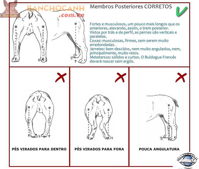Những thông tin về chó Bull Pháp thuần chủng.