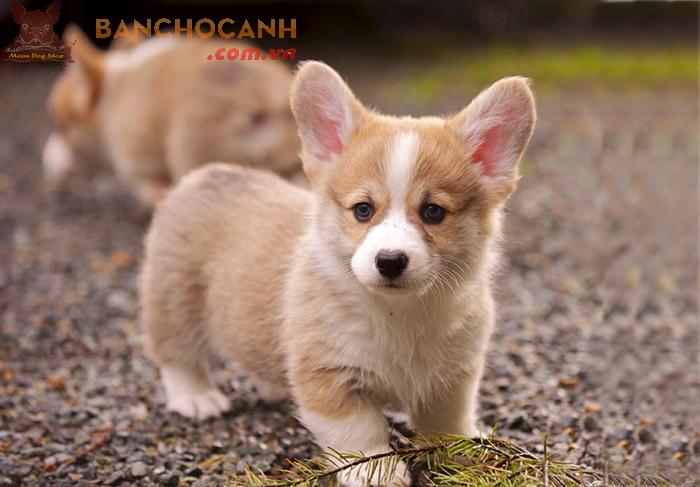 Chó Corgi thuần chủng