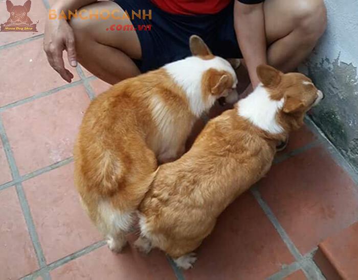 Chuyên dịch vụ phối giống chó Corgi tại Hà Nội.