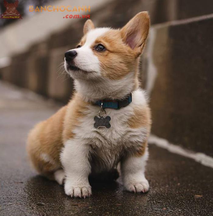 Chó Corgi loài thú cưng mông cong không đuôi đầy cuốn hút.