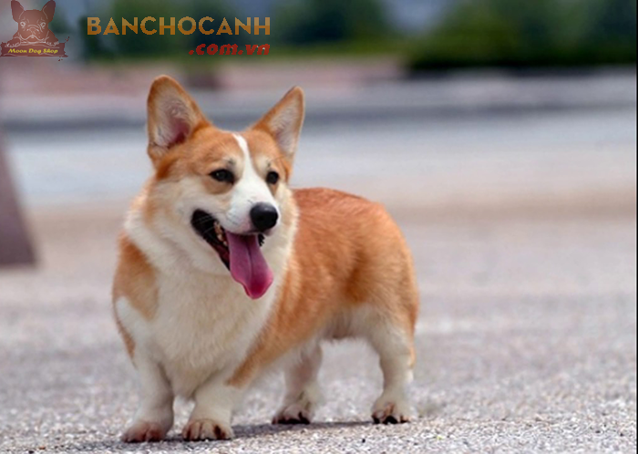 Chó Corgi nặng bao nhiêu ?
