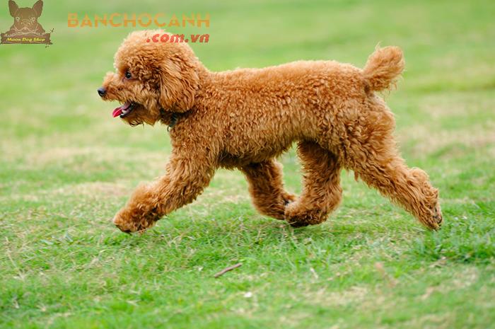 Vì sao phải tìm hiểu cách dạy chó Poodle