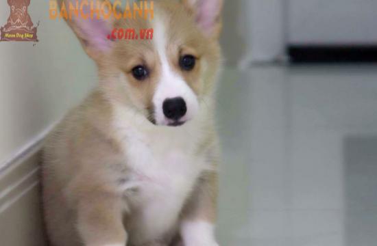 Đặc tính chó Corgi
