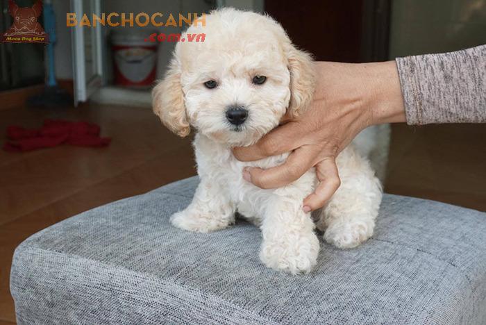 30 hình ảnh chó Poodle dễ thương