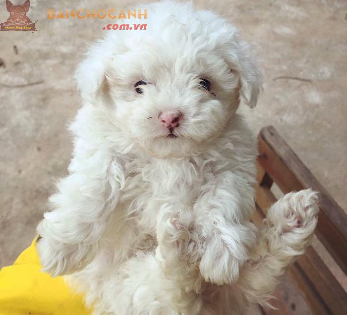 Hà Thành ở đâu bán chó Poodle con tốt