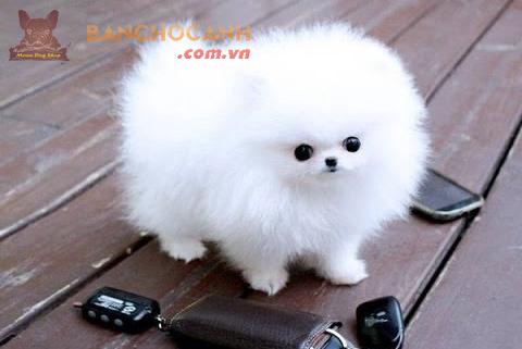 Ngạc nhiên với vẻ đẹp của chó phốc sóc trắng