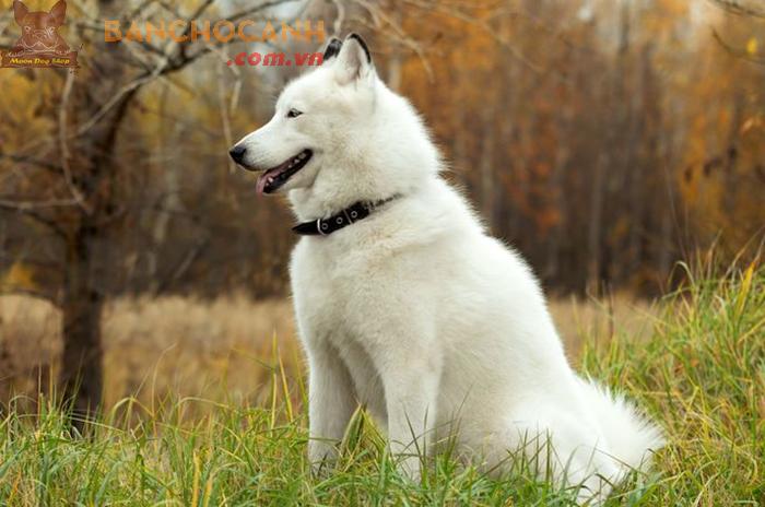 Những thông tin về chó Alaska trắng