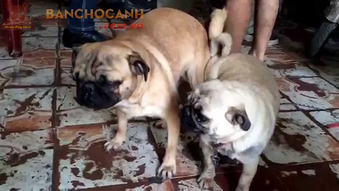 Dịch vụ phối giống chó Pug tại Hà Nội