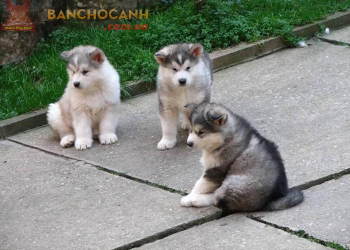Chó Alaska dễ thương ở điểm nào ?