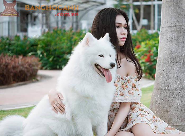 Một số thông tin về chó Alaska trắng tuyết