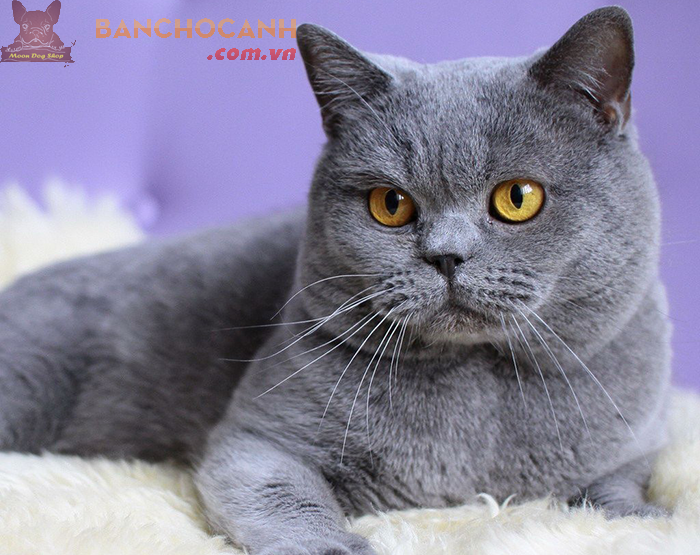 Phối mèo Bicorlor Hà Nội uy tín