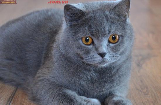Phối giống Mèo Anh lông ngắn uy tín