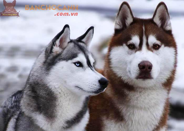 Công ty chuyên phối chó Husky tại Hà Nội