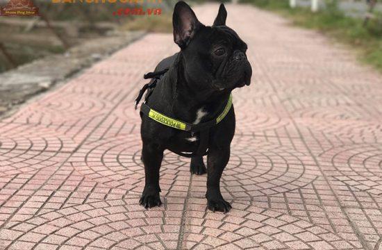 Công ty bán chó Bull Pháp đen tại TP Hồ Chí Minh