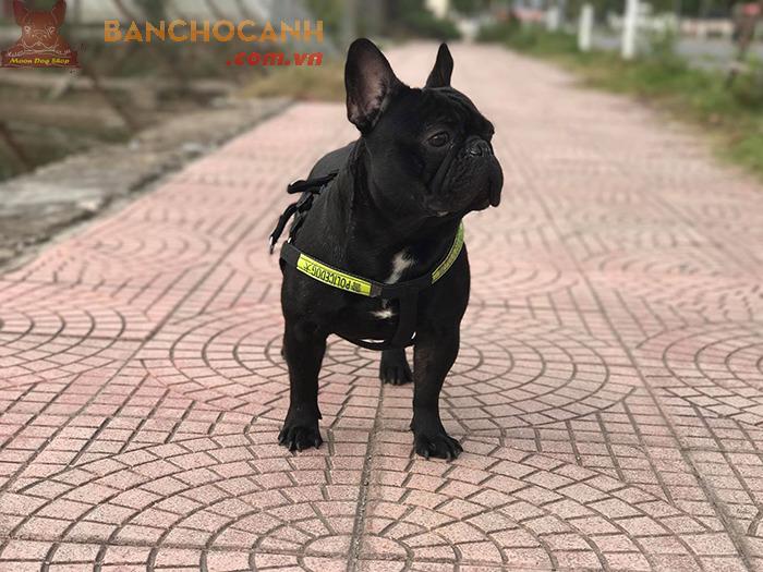 Trại chó bull pháp tại Hà Nội tốt năm 2020