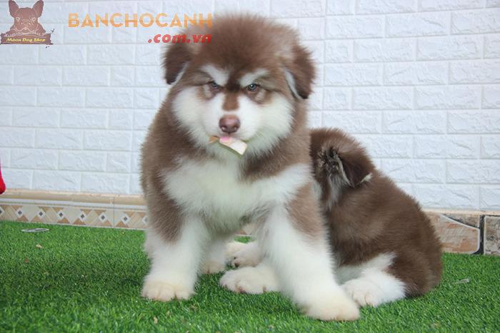 Chó Alaska giá rẻ dưới 10 triệu
