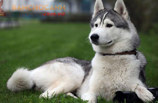Giá của 1 chú chó Alaska bao nhiêu ?