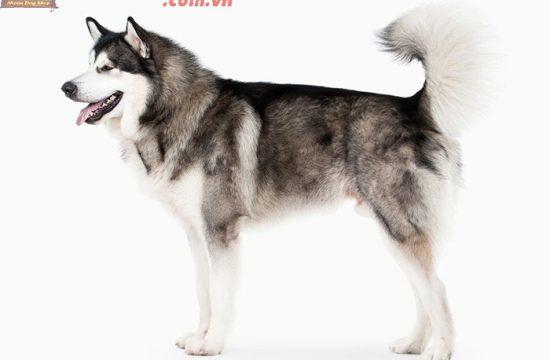 Công ty bán giống chó Alaska ở Việt Nam