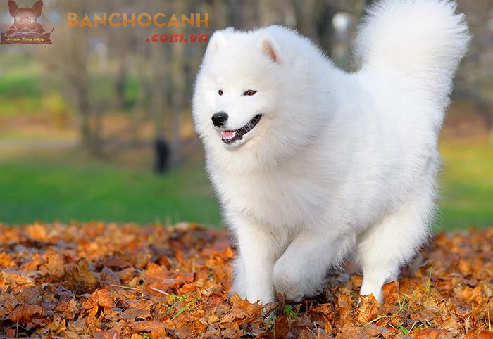Chó tuyết Alaska giá bao nhiêu?
