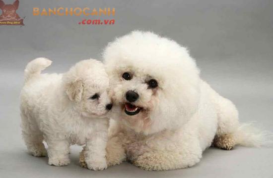 Địa chỉ bán chó Poodle tại Hà Nội - SĐT 0899 322 626 – 0869 889 698