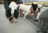Báo giá chó Bull Pháp toàn quốc tháng 4 năm 2020
