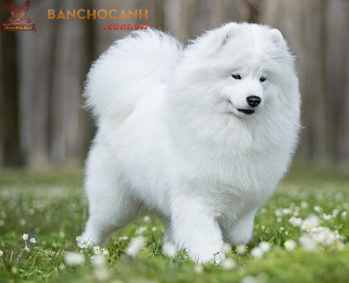 Thu mua chó Samoyed - Điện thoại: 0934594567 – 0869 889 698