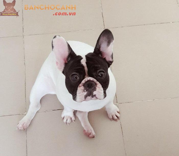 Thu mua chó Bull Pháp - Công ty TNHH-Chó Nhập Khẩu