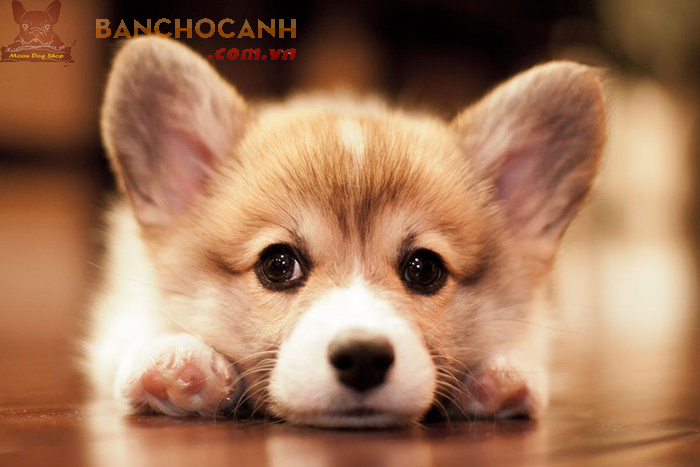 Thu mua chó Corgi - Công ty TNHH-Chó Nhập Khẩu