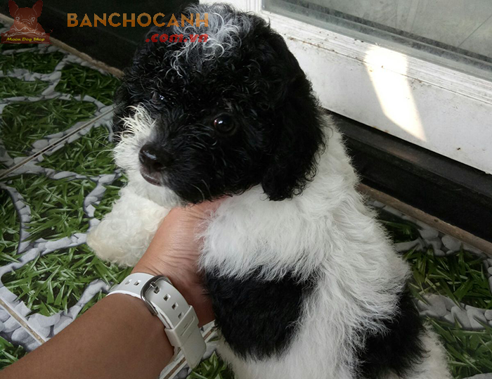 Thu mua chó Poodle - Điện thoại: 0934594567 – 0869 889 698