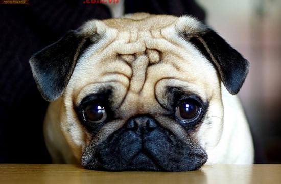 Hè năm 2020 ở đâu thu mua chó pug tốt?