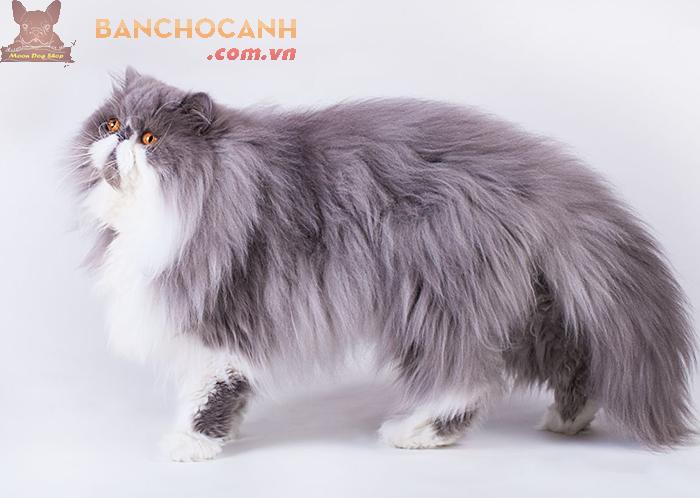 Thu mua mèo các loại tại quận Long Biên