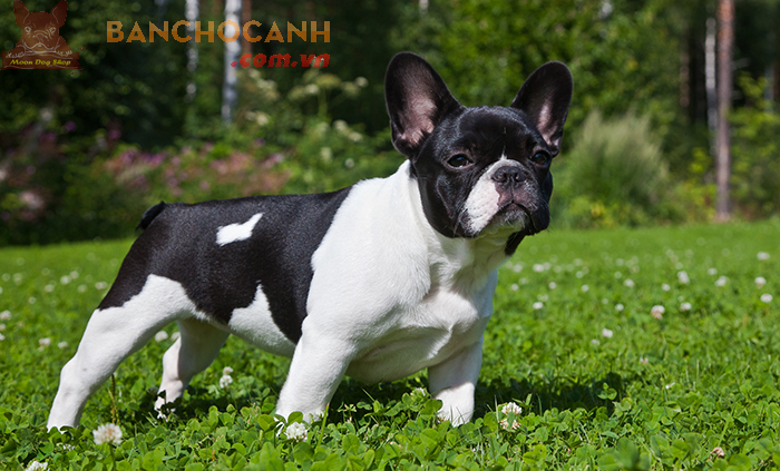 Bán chó Bull Pháp đầu tháng 1 (4 đực 1 cái)