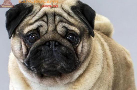 Bán đàn chó Pug đầu năm 2019