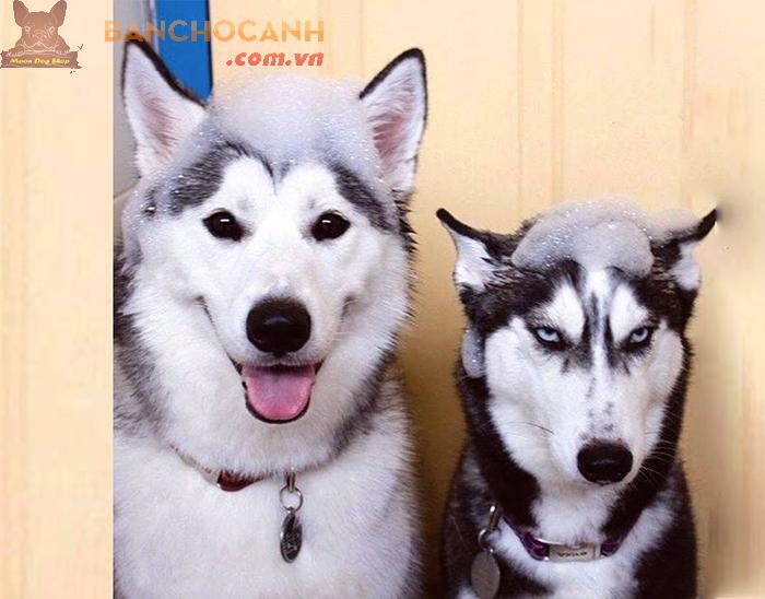 Quy trình phối chó Husky