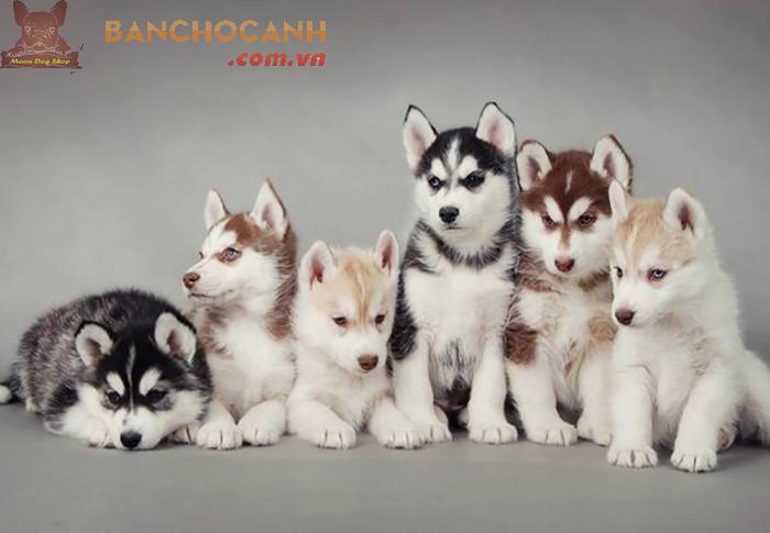 4 giống chó cảnh đáng nuôi năm 2020
