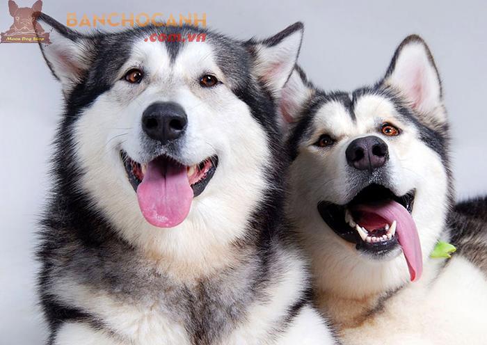 Cách phân biệt chó Alaska và chó Husky