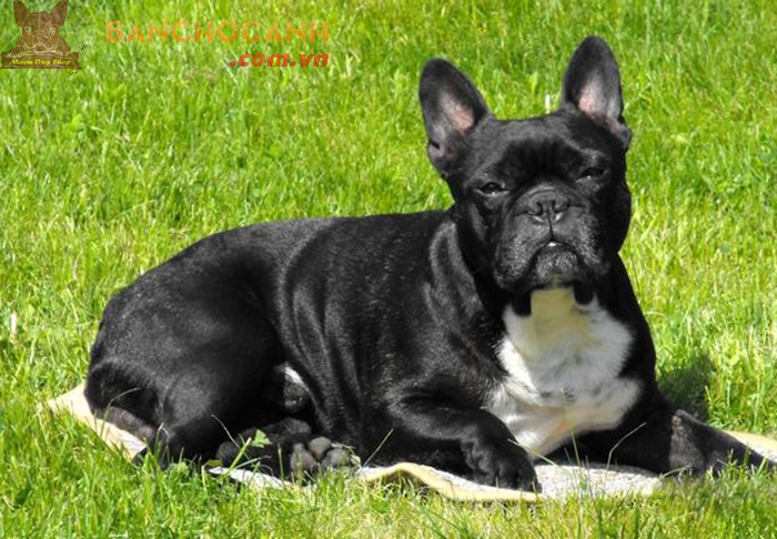 Kỹ thuật nuôi và chăm sóc chó Bull Pháp