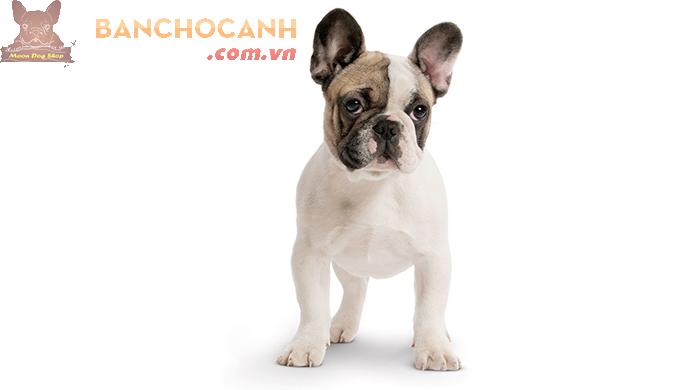 Công ty mua bán chó Bull Pháp tại Hà Nội