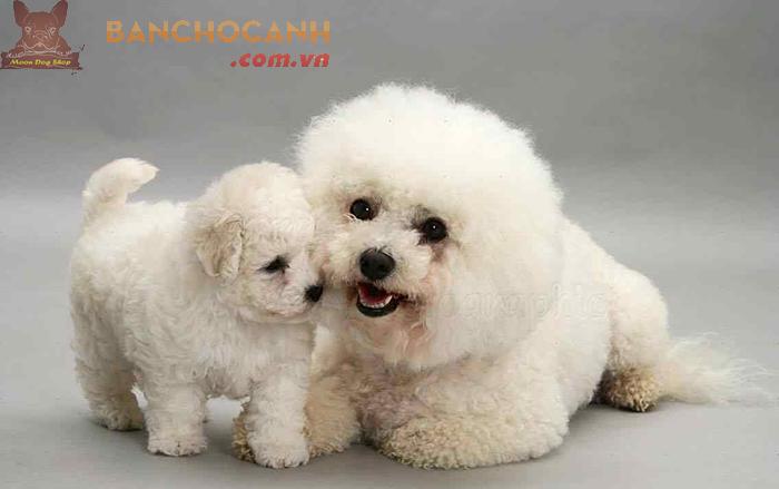 Công ty bán chó Poodle giá rẻ tại Quảng Ninh