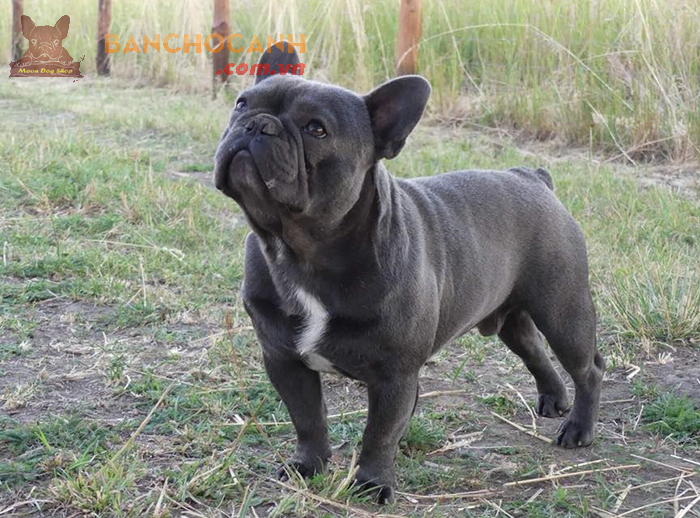 Nơi bán chó Bull Pháp đen quận Thanh Xuân