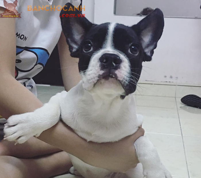 Công ty mua bán chó Bull Pháp tại Hải Phòng