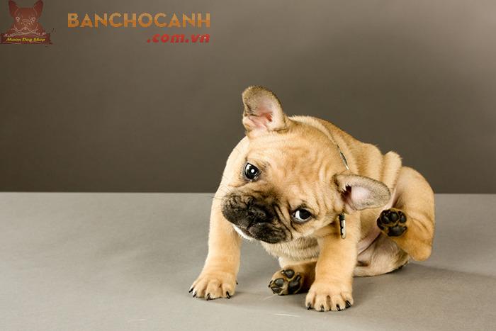 4 lý do nên mua chó Bull Pháp tại Moon Dog Shop