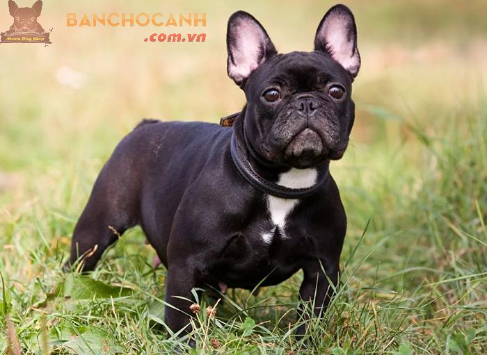 Thu mua chó Bull Pháp giá cao tại Hà Nội ở đâu?