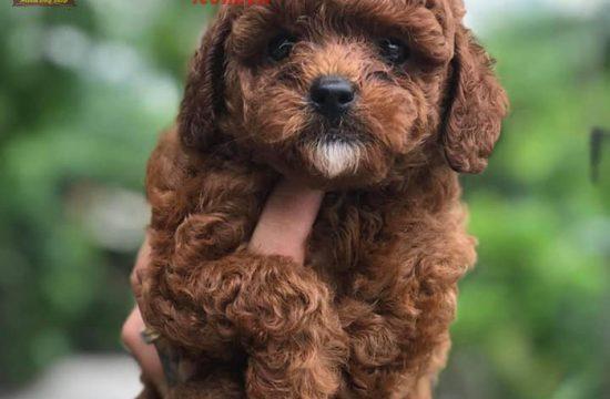 Quy trình phối chó Poodle