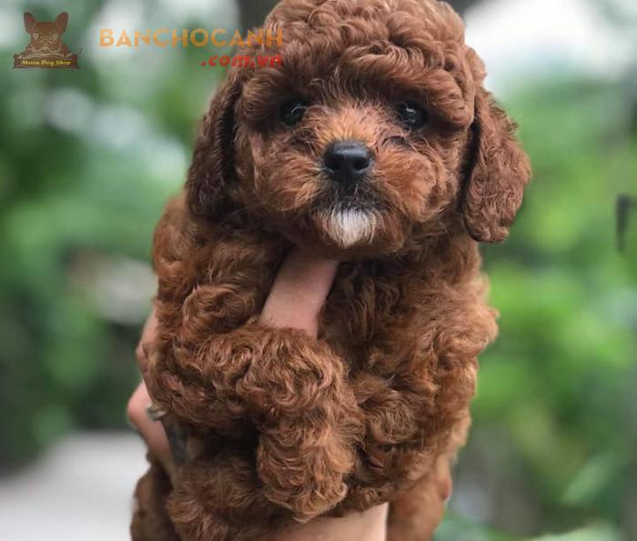 Bán chó Poodle đầu tháng 5 năm 2019